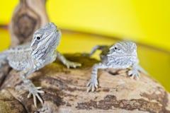 Slutet upp ståenden av behandla som ett barn uppsökte drakar för reptil ödlor Royaltyfri Fotografi
