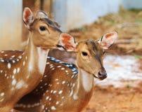 Slutet upp två barn bryner hjortar Arkivfoto
