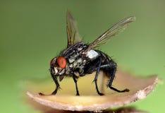 Slutskott av flugan royaltyfri foto