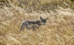 Yellowstone Coyote in Tall Autumn Grass Stock Photos