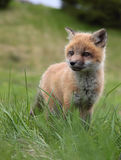 Sly as a fox Royalty Free Stock Images