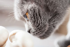 Sly british cat smelling mushrooms Stock Photography