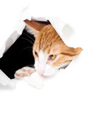 Sly cat looks through a hole and chewing edge of the paper Royalty Free Stock Photo