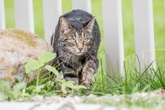 Sly cat sneaking into the yard through the fence to hunt birds. Stealthy sly house cat sneaking into the yard through the fence to hunt birds Royalty Free Stock Image
