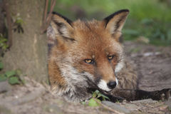 Sly fox. Portrait of a fox lying beside a tree and looking sly and shifty, concept for slyness and shiftiness Royalty Free Stock Image