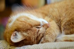 Sly ginger cat sleeps, covering its face with paw and opens one eye closeup stock photography