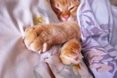 Sly glance a ginger a. Red cat sleeping in a cozy position on the bed. stock image