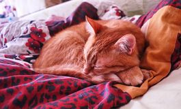 Sly glance a ginger a. Red cat sleeping in a cozy position on the bed. stock photography