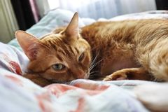 Sly glance a ginger a. Red cat sleeping in a cozy position on the bed. royalty free stock image