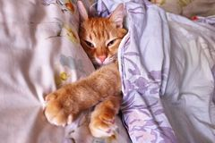 Sly glance a ginger a. Red cat sleeping in a cozy position on the bed. royalty free stock photos