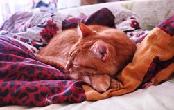 Sly glance a ginger a. Red cat sleeping in a cozy position on the bed. royalty free stock images