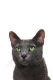 Sly gray cat Royalty Free Stock Images