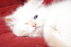 Sly kitten Royalty Free Stock Photography