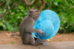 Sly monkey with stolen hat. Playful monkey macaque thief with blue female hat stolen from a carefree tourist Royalty Free Stock Photos