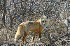 Sly old fox. Old graying red fox walking in the scrub oak Royalty Free Stock Photography