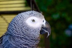 Sly Parrot Royalty Free Stock Images