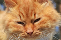 Sly red cat closeup Royalty Free Stock Photo