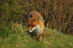 Shy Red Fox. A stealthy Red fox on the hunt Stock Photo