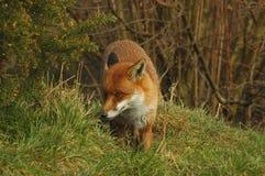 Shy Red Fox Stock Photo