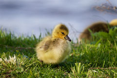 Sly sight of a chick. Of the Canadian geese Royalty Free Stock Image