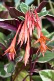 smällarefuchsia arkivfoton