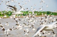 Smällbajs, Thailand: Svärm av Seagullflyget. Royaltyfri Foto