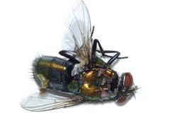 Smälld till fluga Arkivbild
