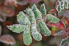 Smältande frostkristaller på en leaf royaltyfri bild