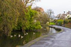 Små änder som simmar på floden, som flödar till och med Ward Park i det Bangor länet ner i nordligt - Irland Arkivfoto