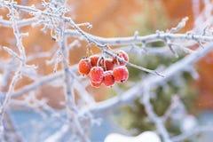 Små äpplen på en filial som täckas med rimfrost i iskristaller Royaltyfri Bild