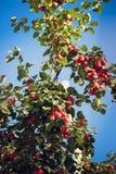 Små äpplen på trädet Royaltyfri Fotografi