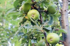 Små äpplen som växer på ett äppleträd royaltyfri fotografi