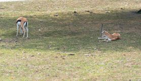 Små antilop på en landssafarilantgård Arkivbilder