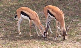 Små antilop på en landssafarilantgård Royaltyfria Bilder