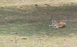 Små antilop på en landssafarilantgård Arkivfoton