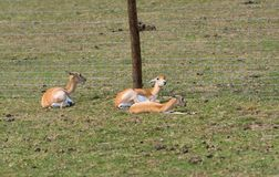Små antilop på en landssafarilantgård royaltyfri fotografi