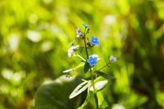 Små blåa förgätmigejblommor på våräng i sunlightsna arkivbild