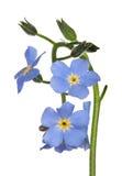 Små blåa förgätmigejblommor som isoleras på vit Royaltyfri Bild