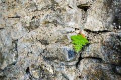 Små blad som växer i en stenvägg Royaltyfri Fotografi