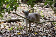 Små blyga hjortar i en skog Royaltyfri Fotografi