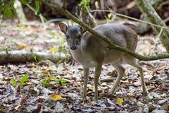 Små blyga hjortar i en skog Arkivbilder