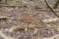 Små blyga hjortar i en skog Royaltyfria Foton