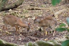Små blyga hjortar i en skog Arkivfoto