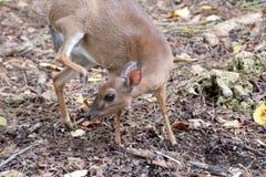 Små blyga hjortar i en skog Fotografering för Bildbyråer