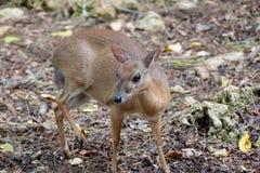 Små blyga hjortar i en skog Royaltyfri Bild