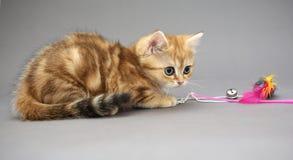 Små brittiska kattungemarmorfärger och leksak Royaltyfri Foto