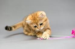 Små brittiska kattungemarmorfärger och leksak Royaltyfria Foton