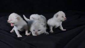 Små brittiska Shorthair lila kattungar, svart bakgrund stock video
