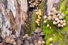 Små champinjoner av olika färger på mossig trädstubbe Arkivbilder