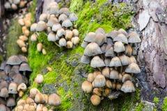 Små champinjoner av olika färger på mossig trädstubbe Arkivfoto
